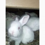 Кролики белые термонские