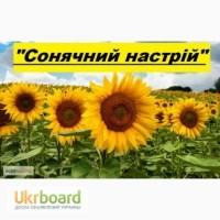 Продам гібрид соняшника СОНЯЧНИЙ НАСТРІЙ