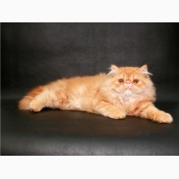 Персидский крассавчик котенок-котик