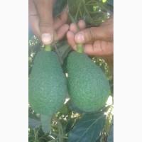 Авокадо Марокко