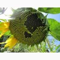 Насіння соняшника Дозор