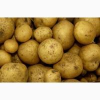 Картофель – ривьера, лаперла, в наличии, продажа оптом
