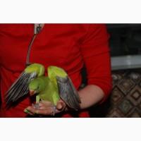 Папуга Ожереловий. Ожерелові ручні зелені пташенята