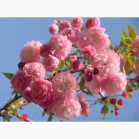 Продам саженцы Луизеании и много других растений (опт от 1000 грн)