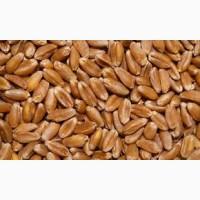Закупаем пшеницу 2класс, 3 класс, фураж