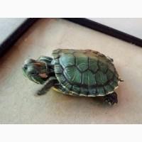 Красноухие черепахи - настоящие долгожители