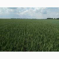 Семена гороху, пшеницы, гречки. насіння