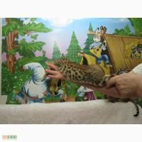 Бенгальский котёнок(мини леопард).