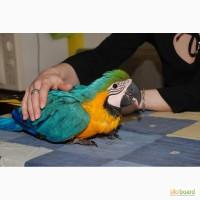Синьо-жовтий ара патріотичні пташенята