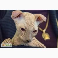 Продам элитного котенка породы Украинский левкой(лысые)СФИНКС
