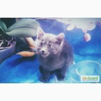 Продам котенка русская голубая