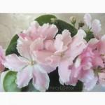 Фиалки сортовые, детка РС-Утонченный Вкус, огромные красивые цветы