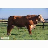Куплю ВРХ (кони бики корови телици)