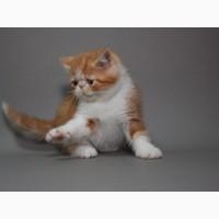 Экзотический короткошерстный, предлагаем чистокровного котенка породы