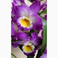 Комплект 6 саженцев орхидей в контейнере - 250 грн. Акция