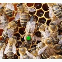 Плодные Пчеломатки карпатской породи вучковский тип F1 Заказ 2019