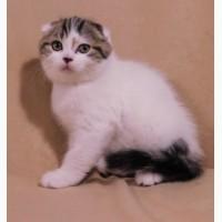 Плюшевый котик скоттиш фолд