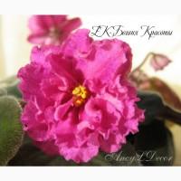 Фиалки сортовые, детка стартер ЕК-Богиня Красоты - огромные красивые цветы