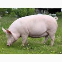 Куплю мясных свиноматок от 20 штук. По всей Украине