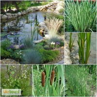 Водні та прибережні рослини для ставків та декоративних водойм