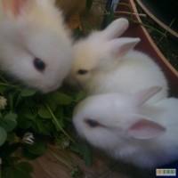 Продаю декоративных кроликов