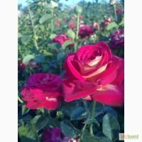 Розы чайно-гибридные, плетущиеся и бордюрные.Подвой шиповника. Смородина и Малина