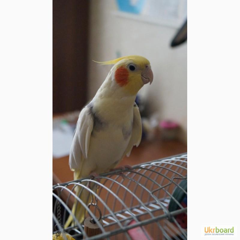фото попугаев корелла цена