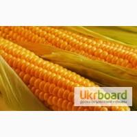 Трёхкомпонентный гербицид для кукурузы Клинч Макс реальный - результат на посевах кукурузы