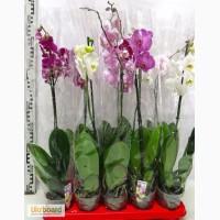 Орхидеи фаленопсисы в Одессе оптом, орхидея фаленопсис розница
