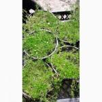 Мшанка шиловидная Ирландский мох