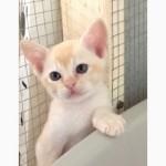 Бурма. Бурманские котята