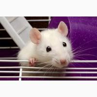 Ласковый и ручной крыс ищет любящих хозяев
