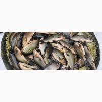 На постоянной основе купим товарную рыбу
