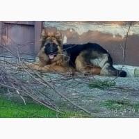 Подрощенная сука, длинношерстная девочка, щенок немецкой овчарки КСУ