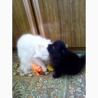 Очаровательные детки померанского той шпица в типе мишка
