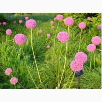 Продам луковицы Луки Раннецветущие и много других растений (опт от 1000 грн)