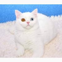 Белая разноглазая кошка