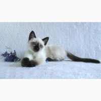 Тайские котята питомника Роял Симфони. Элита породы
