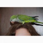 В нашем питомнике можно купить ручного попугая из недорогих видов для детей, начинающих