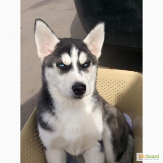 Продается девочка, чистокровный щенок сибирской хаски