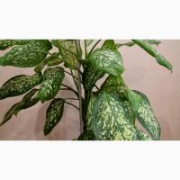 Диффенбахия растение комнатное и офисное