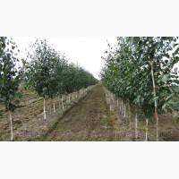 Продам саженцы Березы и много других растений (опт от 1000 грн)