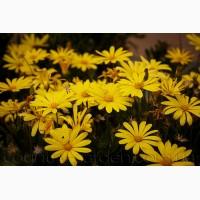 Продам рассаду Ромашки и много других растений (опт от 1000 грн)
