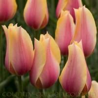 Продам луковицы Тюльпанов Гигантских и много других растений (опт от 1000 грн)