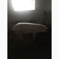 Продам свиноматки