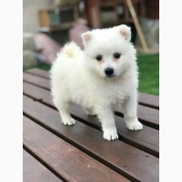 Great 3 Japanese Spitz Puppies