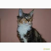 Великолепные котята мейн кун из питомника Amuretto