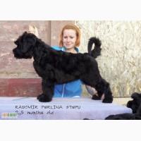 Русский Черный Терьер - Очень объёмный тяжёлый щенок, шоу перспектива!
