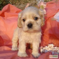 Продам высокопородного щенка шоу-класса американского кокер спаниеля