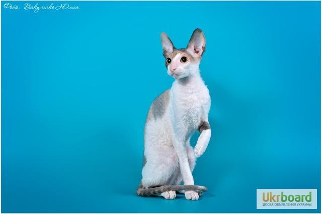 Фото 6. Котёнок корниш рекс